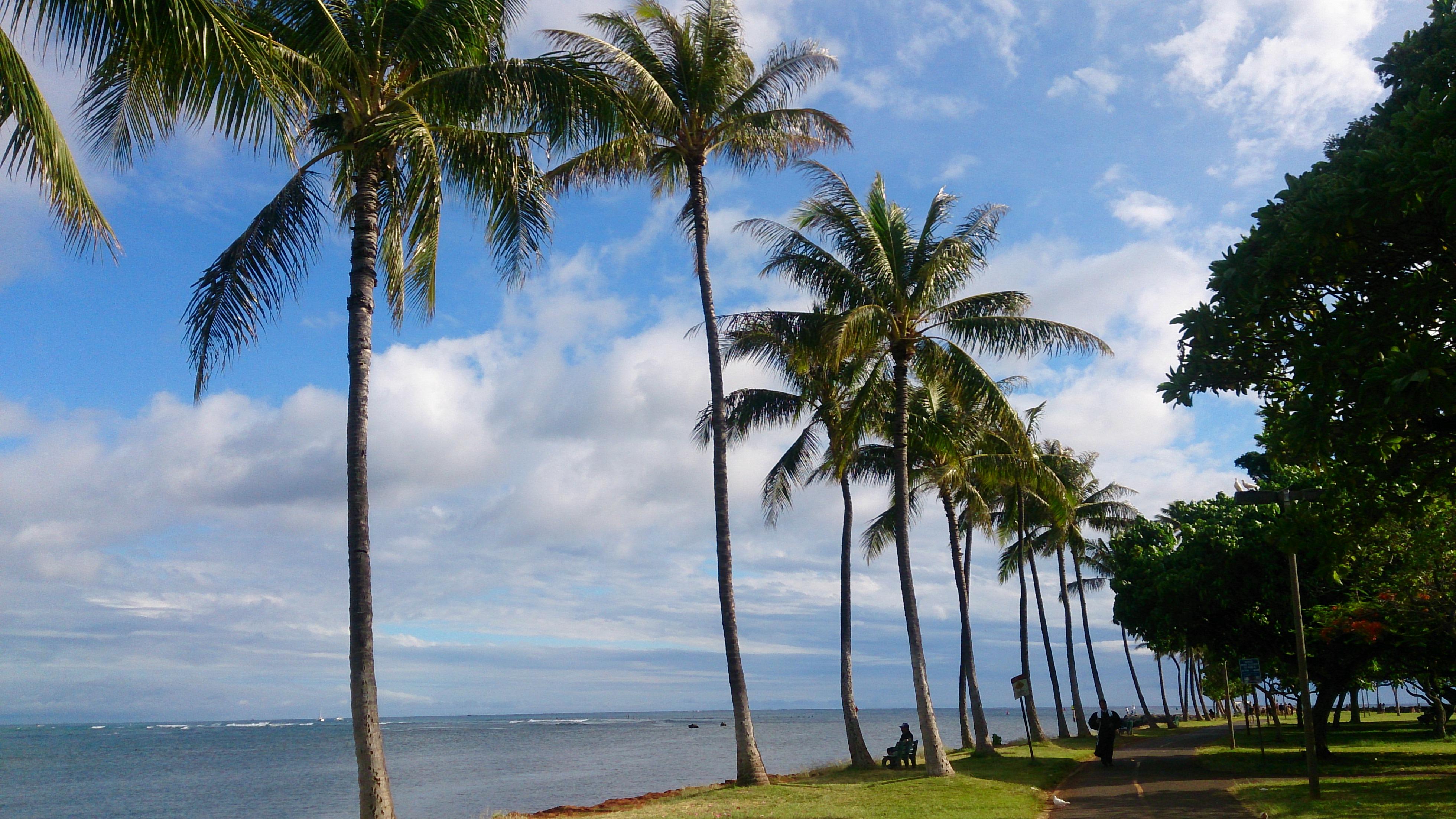 ハワイヤシの木